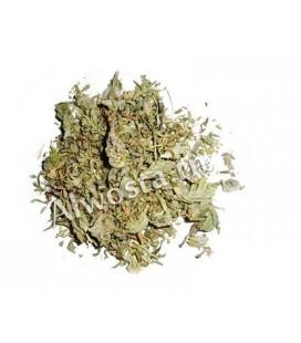 Bugle iva (Herb ivy, Musky bugle)