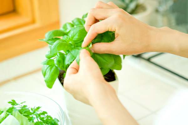 how to have basil at home