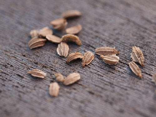 Graines de Carotte, dossier complet: Bienfaits, propriétés et ...