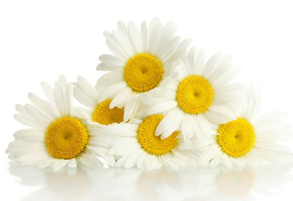 chamomile benefits for hair