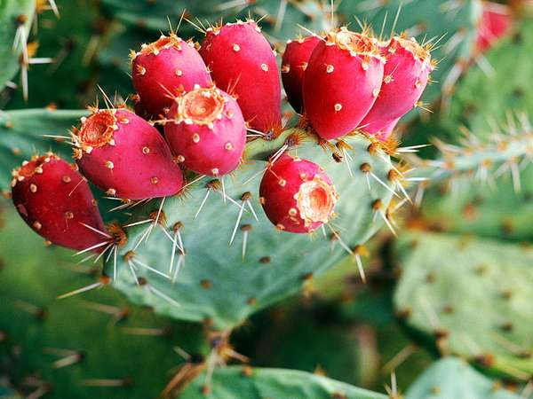researches on the prickly pear
