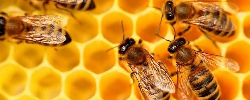 Benefits and properties of sidr honey (Jujube honey)