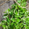 Amazing Health Benefits Of Marjoram, uses and side effects