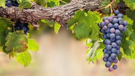Benefits of green, black and red Grapes and its side effects
