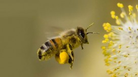 Bee Pollen: Benefits, Properties, Virtues and Dosage