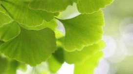 Ginkgo Biloba, Benefits and Virtues