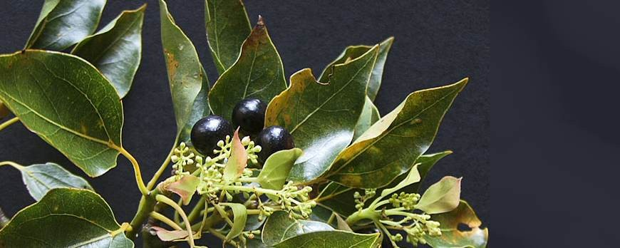Camphor oil: Benefits and properties