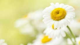Chamomile: Proven Benefits and Virtues