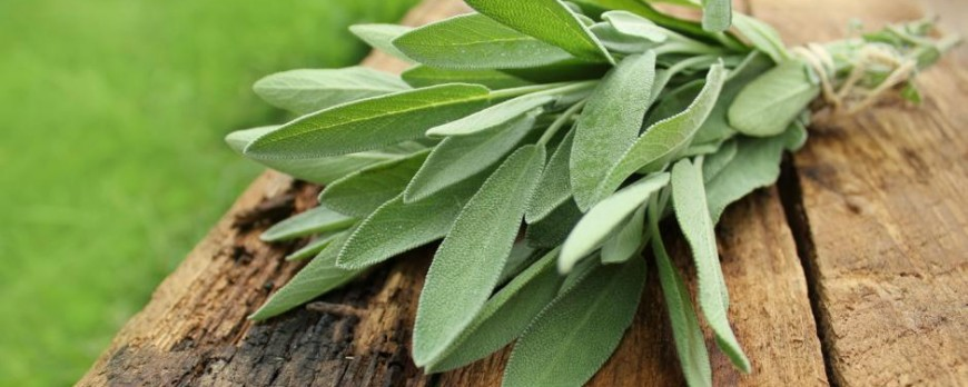 Sage Herb: Benefits and properties