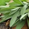 Sage Herb: Benefits and properties