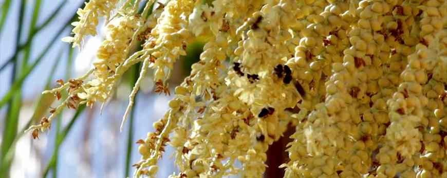 How to differentiate the original date pollen from of the adulterated?