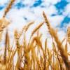 Proven health benefits of oats