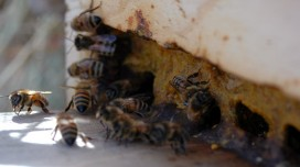 Propolis: Properties and proven health benefits
